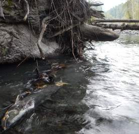 Salmon on the Elwha River